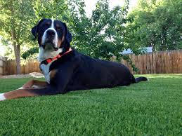 Artificial Grass Las Vegas Synthetic Turf Pavers Does Artificial Grass Smell With Dogs Urine Smell Tips