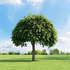 albero giardino alberi da giardino alberi latifolie alberi da giardino