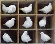 Pigeons Images?q=tbn:ANd9GcQ3i7DvSOnLH7zCcvySHmh99KkdGcWwr2aZvT7y1pBpqhkdWQ40PrpL4WJ2