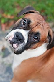 boxer dog shows 2016 best 20 boxer dog names ideas on pinterest boxer boxer puppies