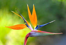 birds of paradise flower bird of paradise flower orange bird of paradise flower