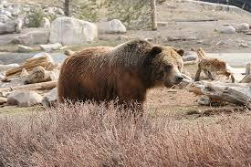 Animal Planet Documentary Grizzly Bears Full Documentaries - top 10 documentaries on apex predators american forests