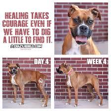 boxer dog 2015 diary foster dog diaries scarlett u0027s story week 4 u2013 crazyrebels com