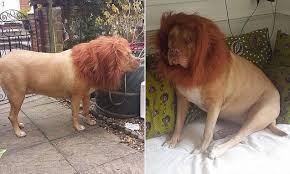 lion dogs pictures show dog disguised with a mane to make it look like a