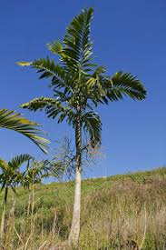 australian native plants brisbane how to identify other people u0027s australian palms palms online