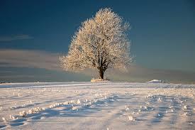 frosty oak tree photograph by by sigurd rage