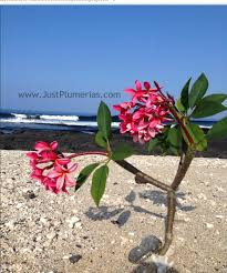 just plumeria news events page