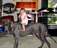 Great Dane Meme - 23 reasons why great danes are giant bundles of happiness