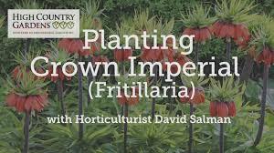 red fritillaria bulbs fritillaria rubra crown imperial high