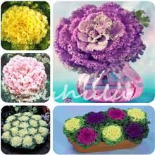 get cheap flowering cabbage seeds aliexpress alibaba