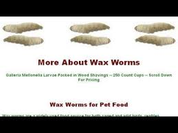 life cycle of a waxworm youtube