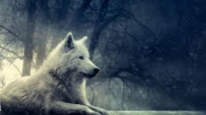 49 wolf wallpapers hd quality wolf images wolf wallpapers full