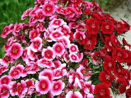 sweet william flowers amazing and most beautiful sweet william flowers pictures