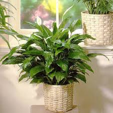 funeral plants sympathy funeral plants baskets voted best florists atlanta