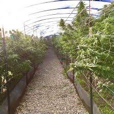 grow u0026 harvest a marijuana grower u0027s diary hopegrown