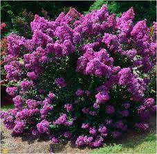 editions crape myrtle tree purple magic for sale