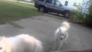 american eskimo dog apartment miniature american eskimo dogs youtube