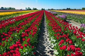 top tulip festivals in the united states petal talk