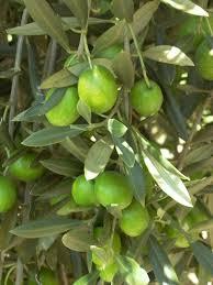 australis plants olive nursery macadamia nursery and australian