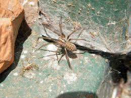 european house spider tegenaria domestica species information page