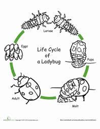 color the life cycle ladybug worksheet education com