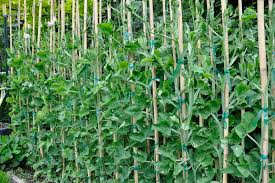 Container Gardening Peas - growing with plants how to grow sweet peas for cut flowers