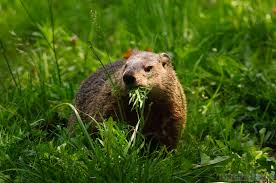 how to get rid of ground hogs ground hog gardens and garden ideas