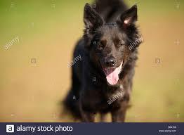 belgian shepherd ears stand up ears perked up stock photos u0026 ears perked up stock images alamy