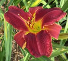 daylilies forum i think i got a nice buy lowes yesterday