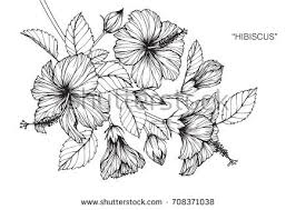 hibiscus flowers drawing sketch lineart on stock vector 664161037