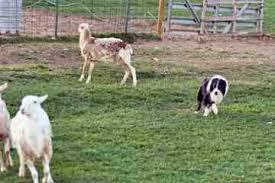 slash v australian shepherds c me australian shepherds ivy litter09