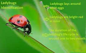 How To Find Ladybugs In Your Backyard Asian Lady Beetle Vs Ladybugs Easiest Way To Identify Both