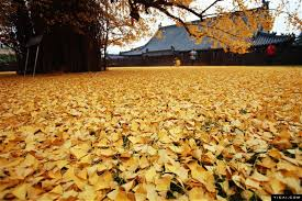 of china tree stunning ginkgo tree in china drops an of golden leaves