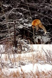 511 best foxes images on pinterest adorable animals animal