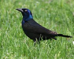 Indiana birds images Blackbirds orioles all eleven species expected in indiana have jpg