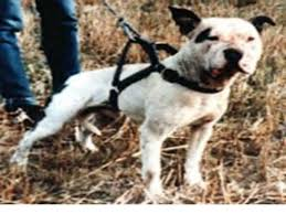 l american pitbull terrier a p b t hall of fame