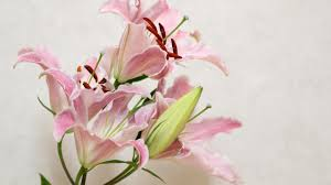 lily flower wallpapers top 44 lily flower photos original hdq