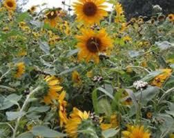 black oil sunflower etsy