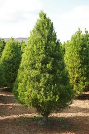 Christmas Tree Shopping Tips - how to pick a good christmas tree raise your garden musings on