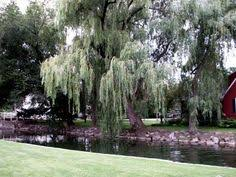 willow tree meaning magic willow tree and