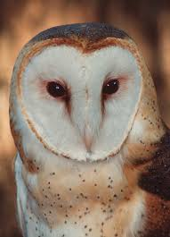Where Does The Barn Owl Live Owls U2013 Florida U0027s Remarkable Birds Of Prey Panhandle Agriculture