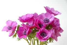 anemones all about anemone bulbs farmer gracy u0027s blog
