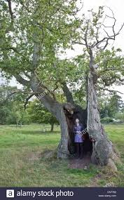 tea party oak tree 700 years old one of the oldest in england