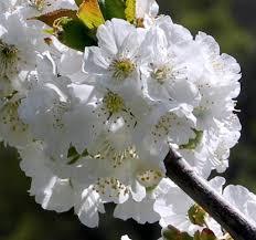 imagenes flores bellisimas bellísimas flores de cerezo torregutierrez segovia