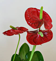 anthurium flower anthurium