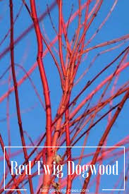 plants native to arkansas best 25 dogwood shrub ideas on pinterest red twig dogwood