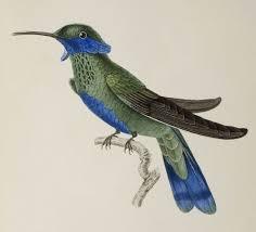 bibliodyssey hummingbirds