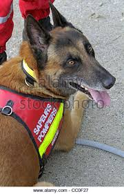 belgian shepherd rescue dogs rescue dog earthquake stock photos u0026 rescue dog earthquake stock