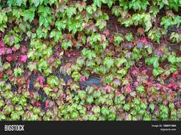 climbing plant ivy leaves on the brick wall turning into from