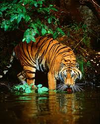 amazing wildlife bengal tiger in water photo tigers central the bengal tiger at river s edge india wall mural by jim zuckerman will add a distinctive touch to any room